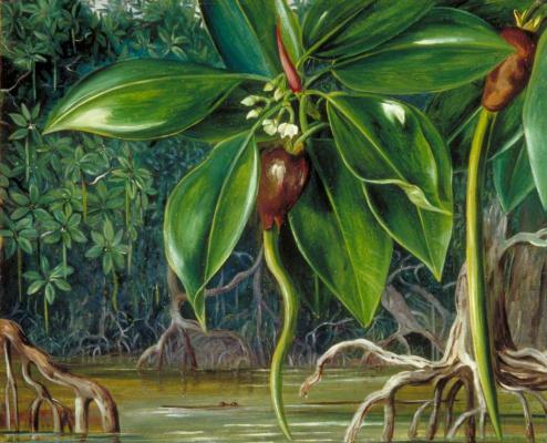 Marianna North. Mangrove swamp in Sarawak, Borneo