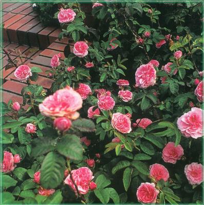 Сахон Холт. Цветущие розы