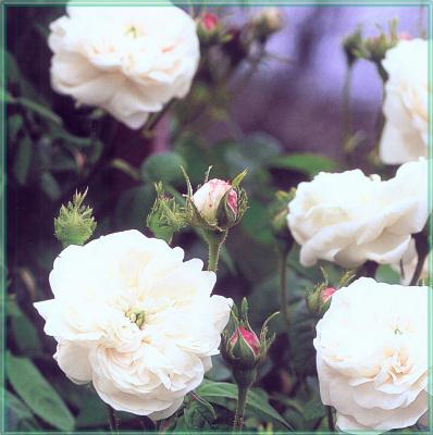 Сахон Холт. Белые розы