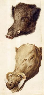 Giuseppe Arcimboldo. Boar's head