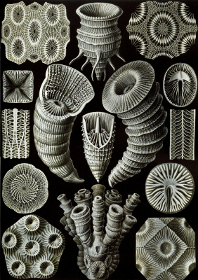 """Ernst Heinrich Haeckel. Rugosa (Four Beam Corals). """"The beauty of form in nature"""""""