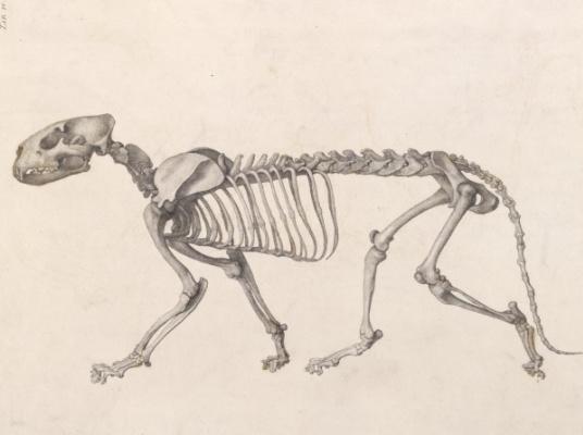 Джордж Стаббс. Скелет тигра