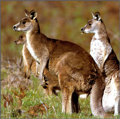 Питер Уолтон. Восточная серый кенгуру