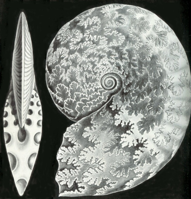 "Ernst Heinrich Haeckel. Clam bird luxurious. ""The beauty of form in nature"""