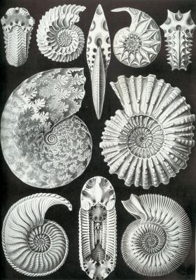 Аммонитиды брюхоногие. «Красота форм в природе»
