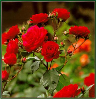 Сахон Холт. Красные цветы