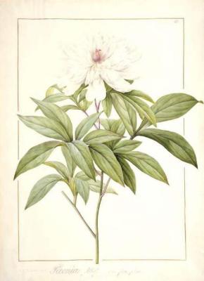 Pierre-Joseph Redoute. Lactic flower peony