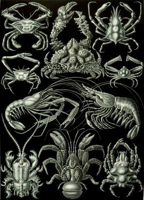 Эрнст Генрих Геккель. Десятиногие ракообразные (Декаподы). «Красота форм в природе»