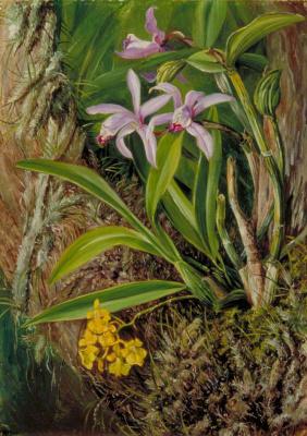 Марианна Норт. Бразильские орхидеи и другие эпифиты