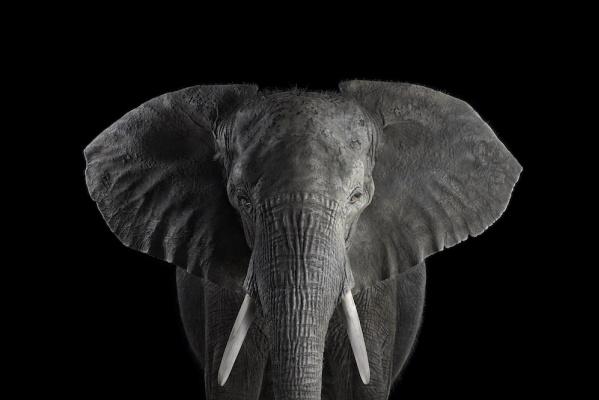 Brad Wilson. African Elephant #1
