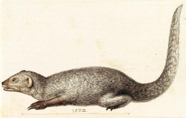 Giuseppe Arcimboldo. The Indian mongoose. Sketch