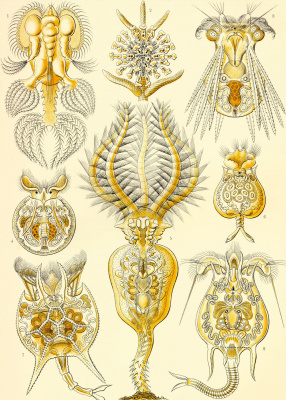 """Ernst Heinrich Haeckel. Rotifers (Rotatoria). """"The beauty of form in nature"""""""