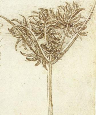 Леонардо да Винчи. Осока