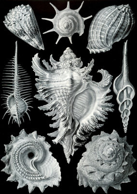 """Ernst Heinrich Haeckel. Anteriopulmonary gastropods. """"The beauty of form in nature"""""""