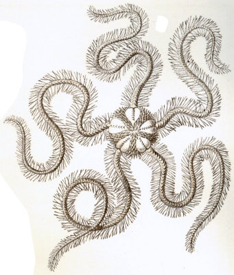 "Ernst Heinrich Haeckel. Ophiura Fragilis. ""The beauty of form in nature"""