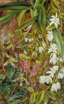 Марианна Норт. Орхидеи на Борнео