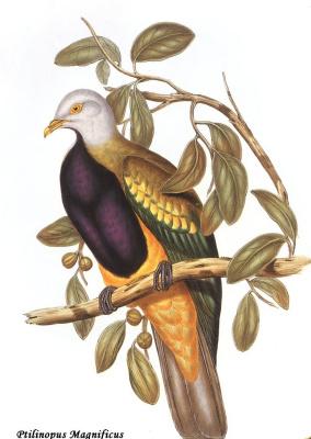 Джон Гулд. Длиннохвостый пёстрый голубь