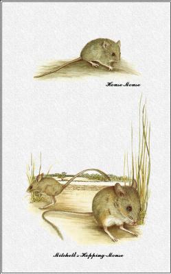 Марион Уэстмакотт. Австралийские млекопитающие 78