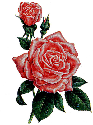 Кен Джоодри. Роза