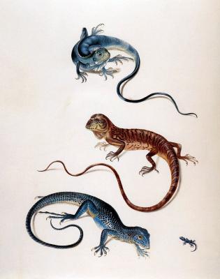 Maria Sibylla Merian. Lizards