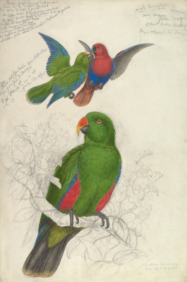 Эдвард Лир. Noble Green-Red Parrot, Australia