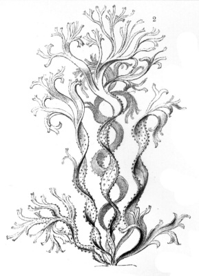 "Ernst Heinrich Haeckel. Multiple-threaded catleria. ""The beauty of form in nature"""