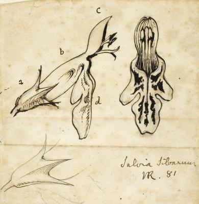 John Ruskin. Sage flower study