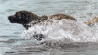 Лесли Харрисон. Собака в воде