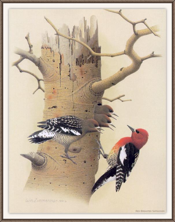 Красногрудый дятел
