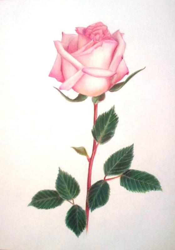 Sophie Wasilewska. Розовая роза