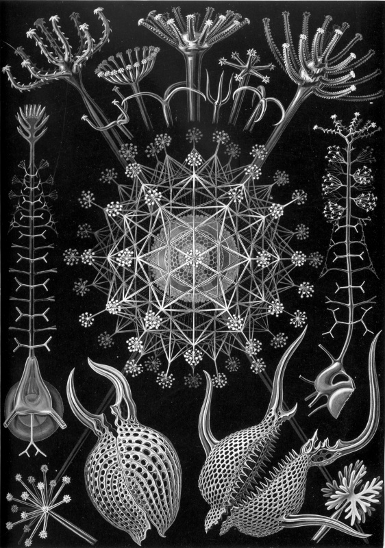 "Ernst Heinrich Haeckel. Radiolaria: feudarians. ""The beauty of form in nature"""