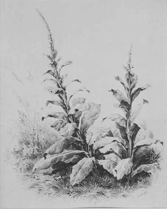 Шарль-Франсуа Добиньи. Этюд растений