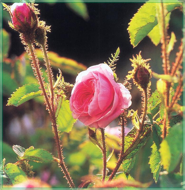 Сахон Холт. Роза