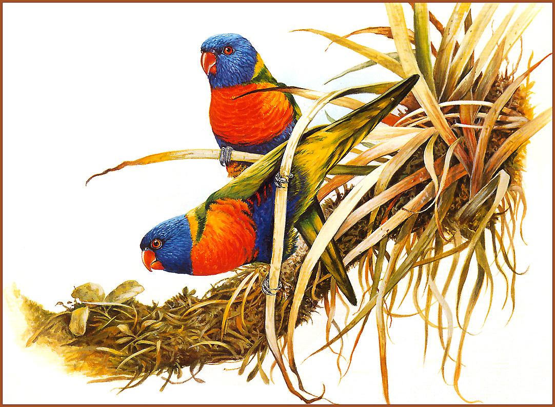 Eric Shepherd. Multicolor lorikeet