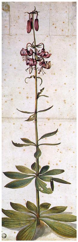 Albrecht Dürer. Turkish Lily. (Lily Martagon)
