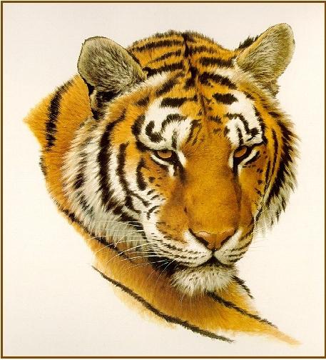 Голова бенгальского тигра