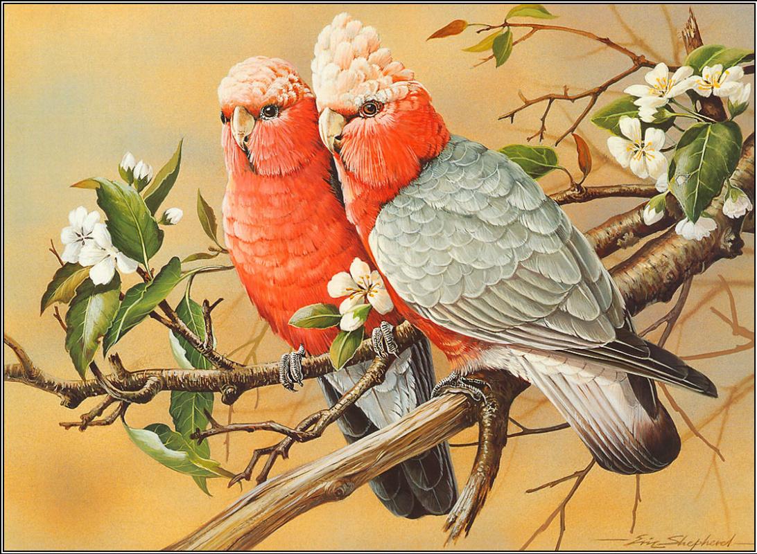 Eric Shepherd. Pink cockatoo