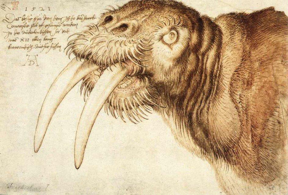 Albrecht Dürer. Walrus