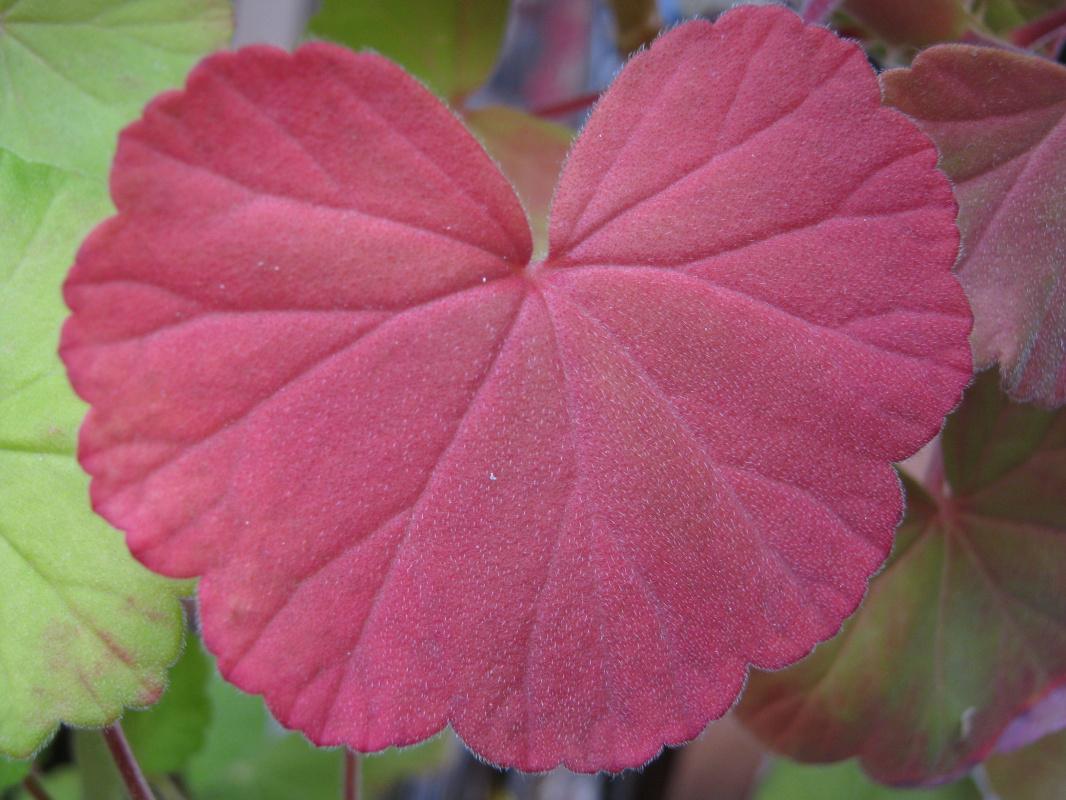"""Алексей Гришанков (Alegri). """"Geranium leaf purple"""""""