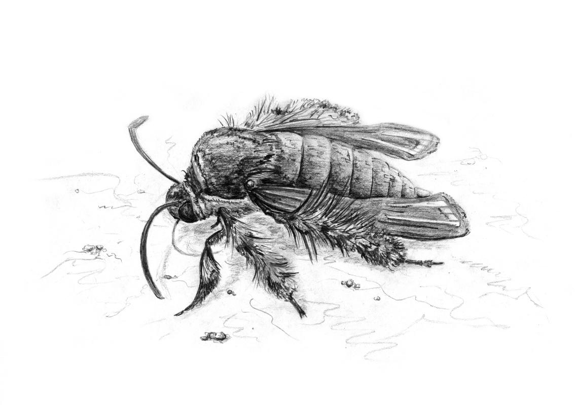 Platon Nikolayevich Starodubov. Heterosphecia Tawonoides