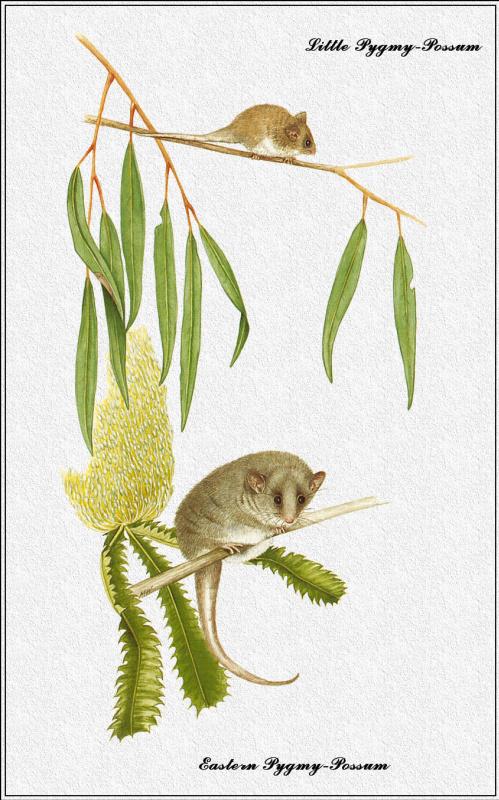 Марион Уэстмакотт. Австралийские млекопитающие 28