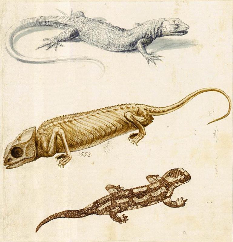 Джузеппе Арчимбольдо. Ящерица, хамелеон и саламандра. Эскиз