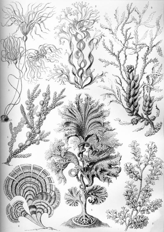 "Ernst Heinrich Haeckel. Brown algae. ""The beauty of form in nature"""