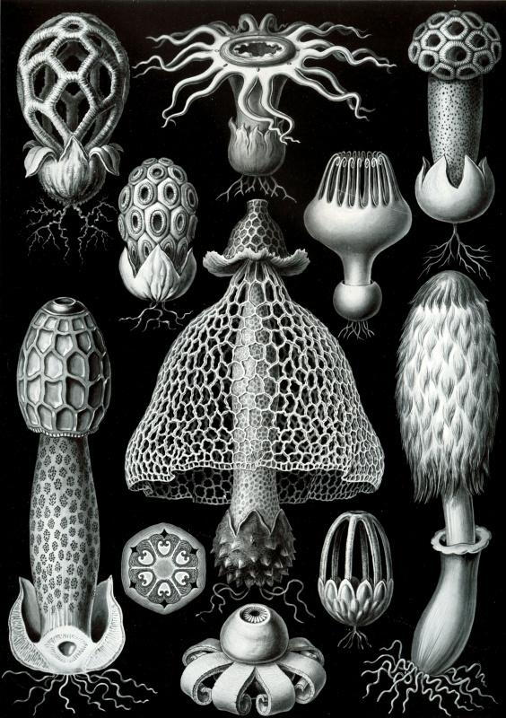 Эрнст Генрих Геккель. Базидиомицеты (Базидиальные грибы). «Красота форм в природе»
