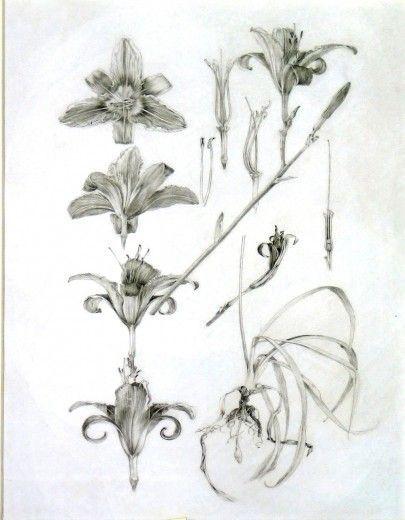 Альфонс Муха. Декоративные материалы: наброски лилии