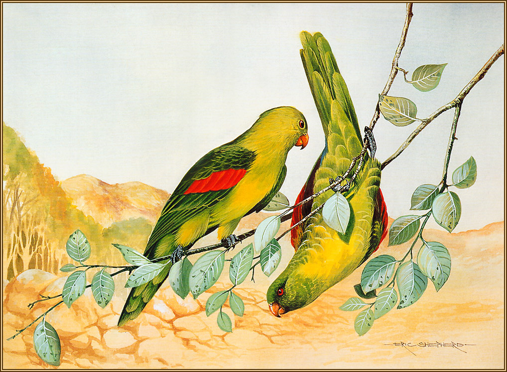 Eric Shepherd. Red-winged parrot
