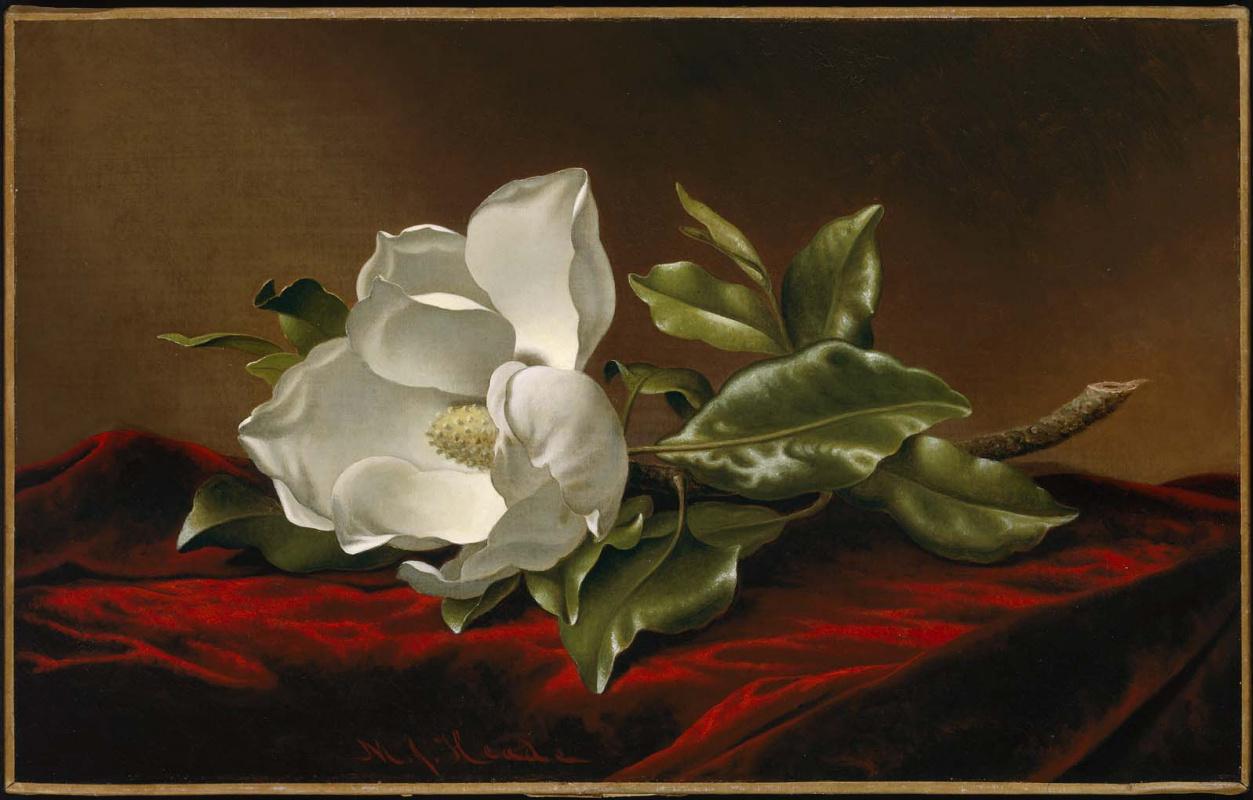 Martin Johnson Head. Magnolia grandiflora