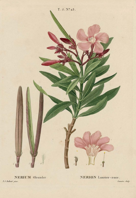 "Pierre-Joseph Redoute. Oleander ordinary. ""Cultivated trees and shrubs"""