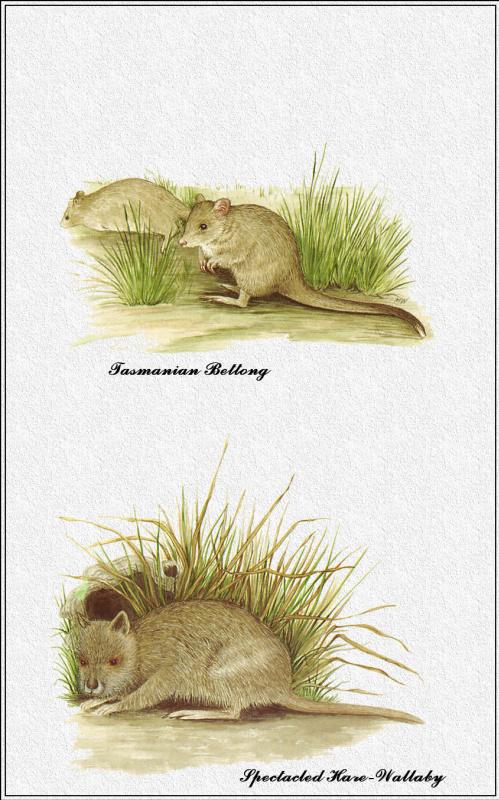 Марион Уэстмакотт. Австралийские млекопитающие 33