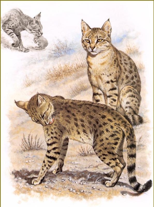 Роберт Даллет. Индийский степной кот